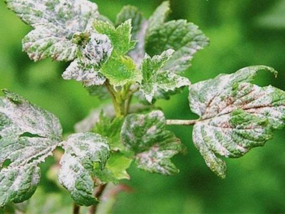 Болезни смородины и их лечение