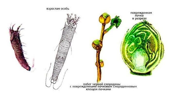 Обрабатываем смородину весной от болезней и вредителей