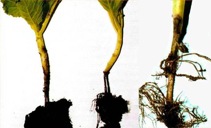 Как победить болезни рассады капусты