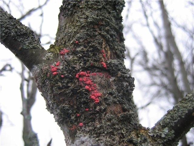 Болезни коры яблонь и их лечение