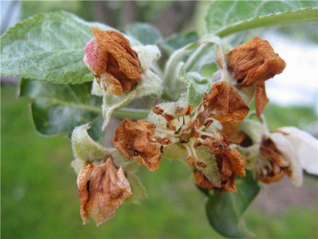 Распространенные вредители яблони и борьба с ними